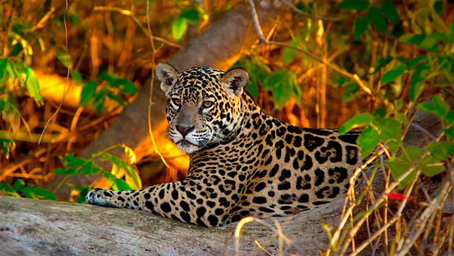 Perfume KC salva a jaguares en la selva