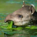 tapir de guatemala comiendo